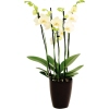 Zimmerpflanze Orchidee A009948H